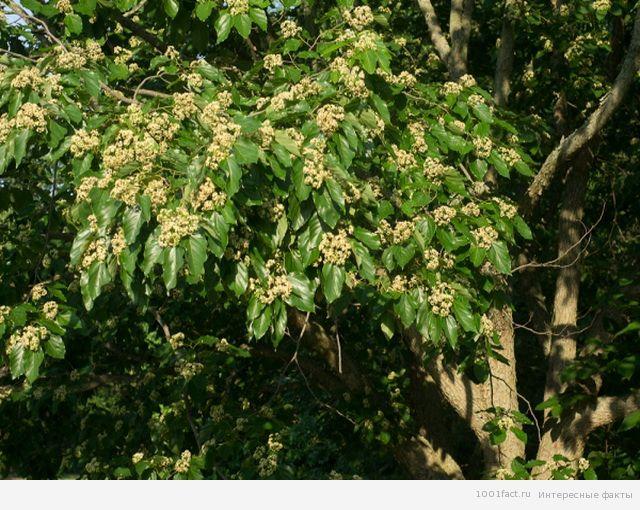 цветение конфетного дерева