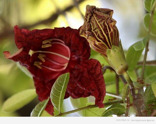 цветы кигелии