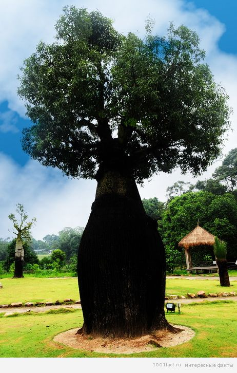 о бутылочном дереве
