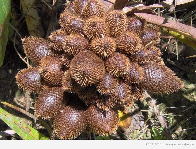 фрукты Бали_салак