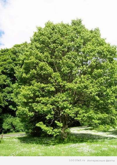 факты_конфетное дерево