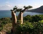 факты_бутылочное дерево
