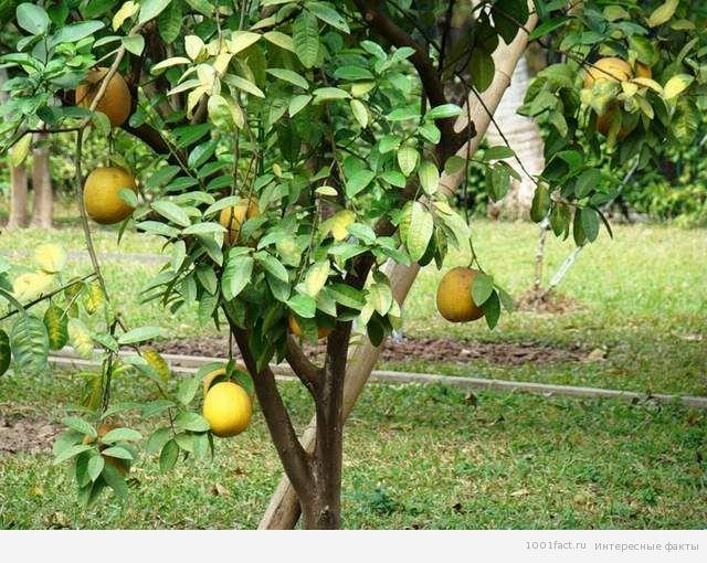 фрукты_помело