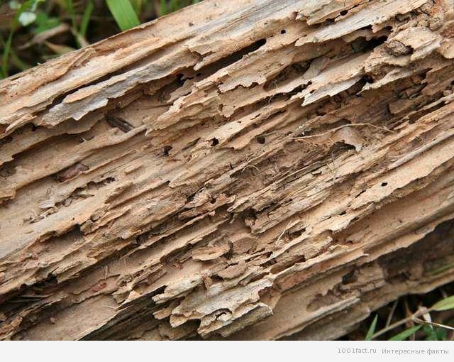 древесина_термиты