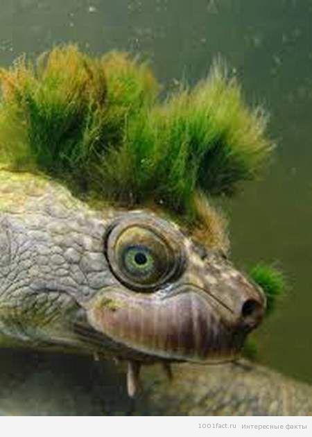 голова мохнатой черепахи