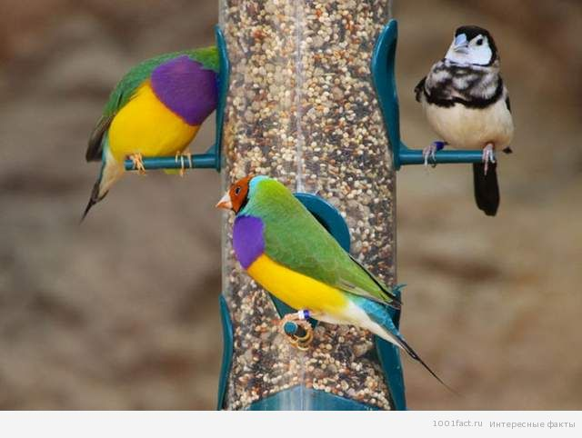 о птице Гульдова Амадина