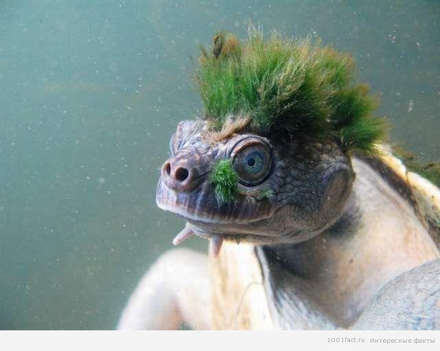 волосы на голове черепахи