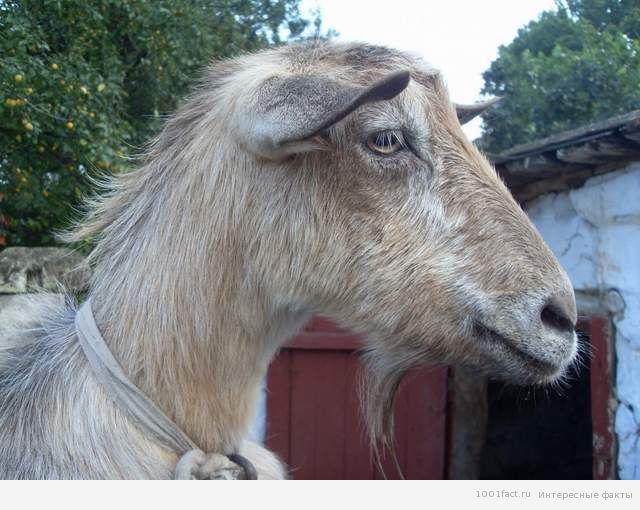животные_козы