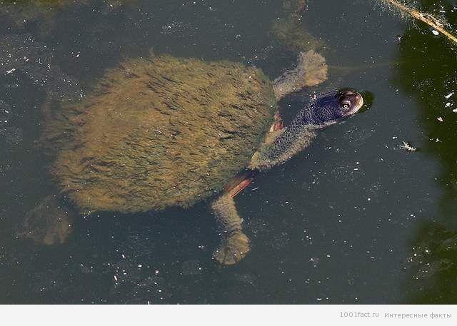 о мохнатой черепахе