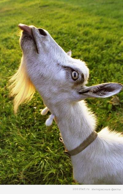факты_животные козы