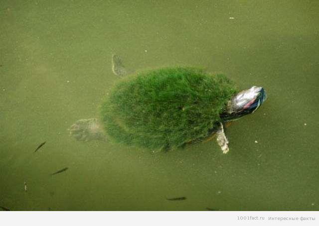 австралийская мохнатая черепаха