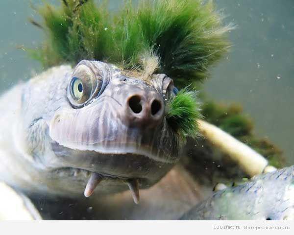 мохнатая черепаха