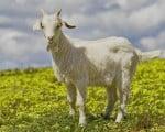 факты о козах
