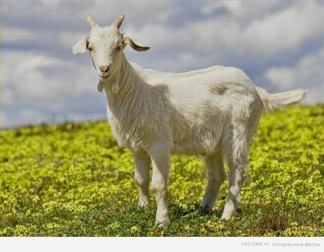 форма зрачка козы