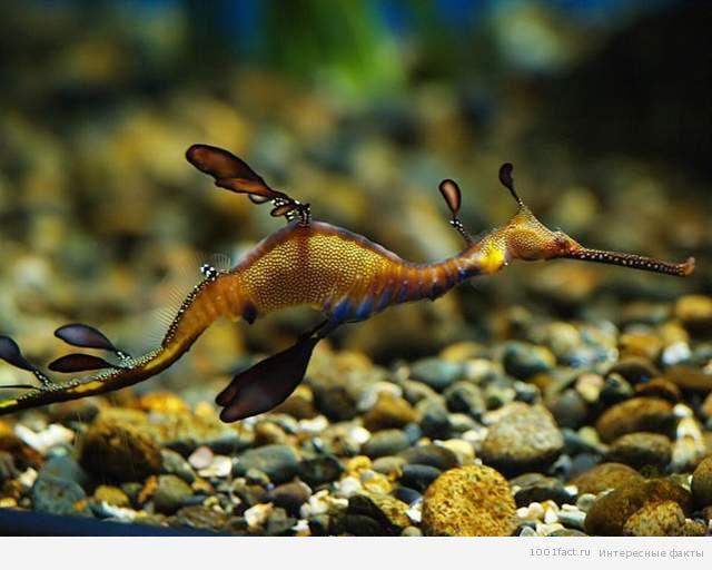 вид интересной рыбки_лиственный дракон