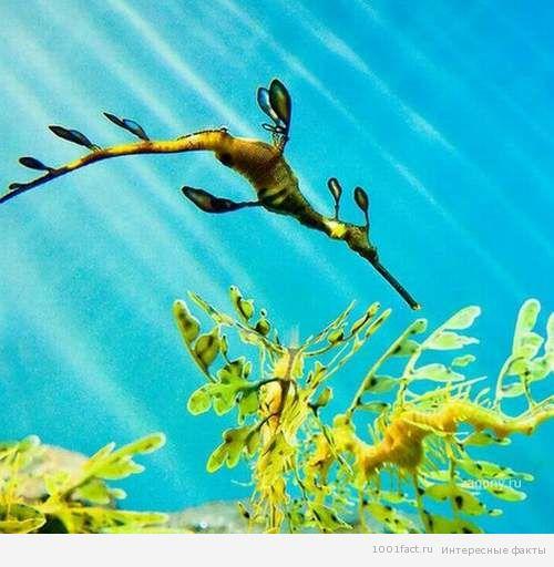вид морского дракона