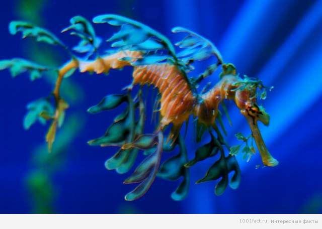 плавники морского дракона