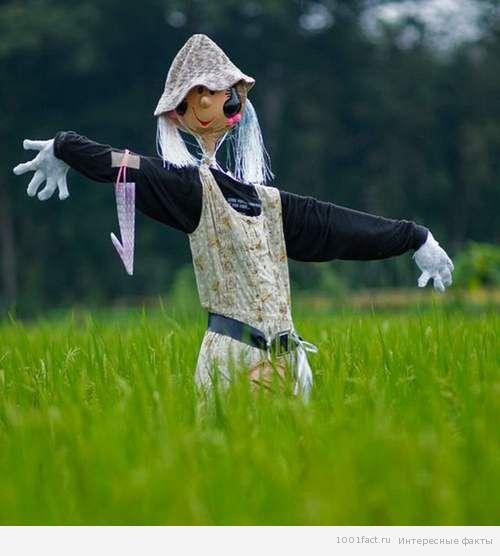 пугало на рисовом поле