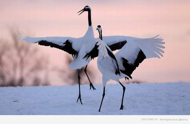танцующие журавли