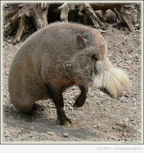 о бородатой свинье