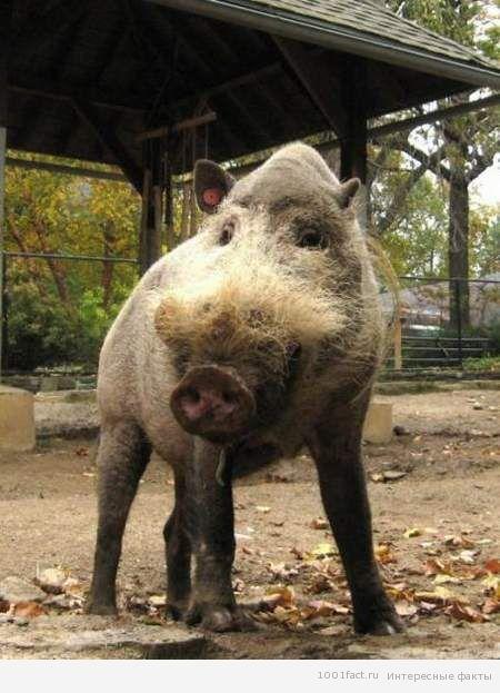 животное_бородатая свинья