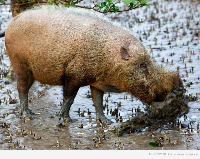 немного о бородатой свинье