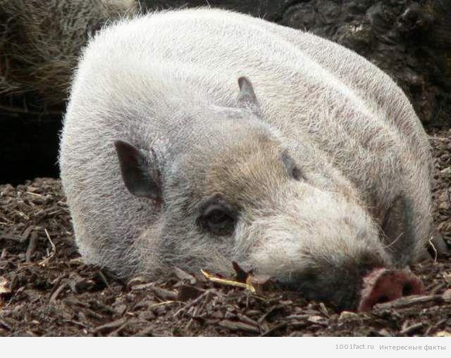 жизнь бородатой свиньи