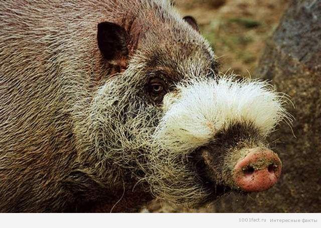питание бородатой свиньи