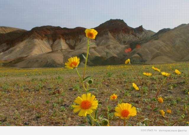 цветы в Долине смерти