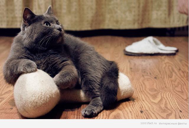 кошки и их интуиция