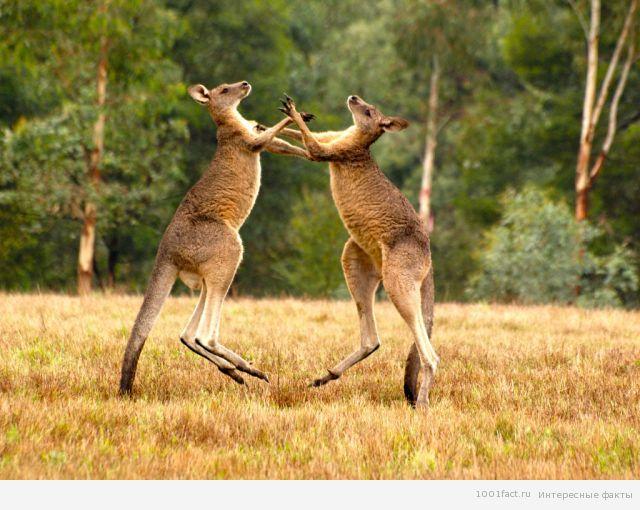 два кенгуру