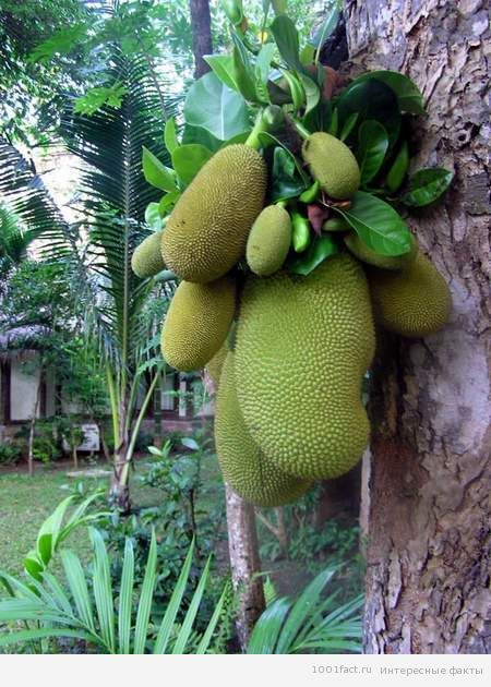 дерево джекфрут
