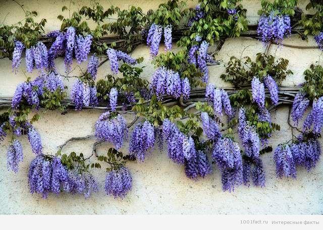 фиолетовые цветы глицинии