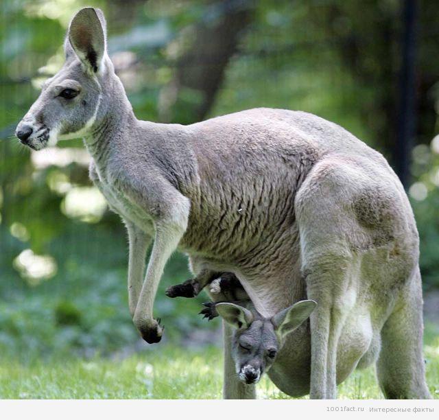 сумка кенгуру