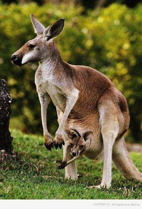 животные_кенгуру