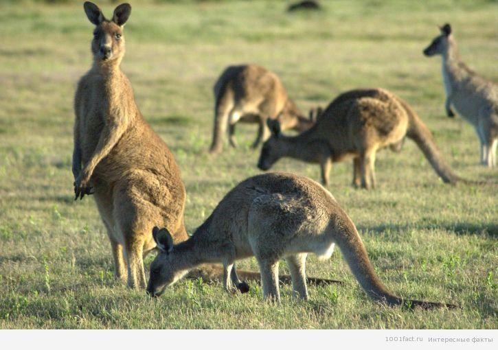 кунгуру_Австралия