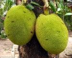 интересные факты о джекфруте