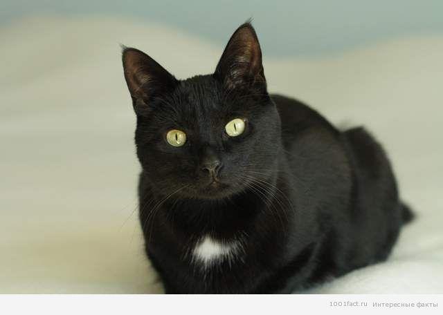 про черную кошку