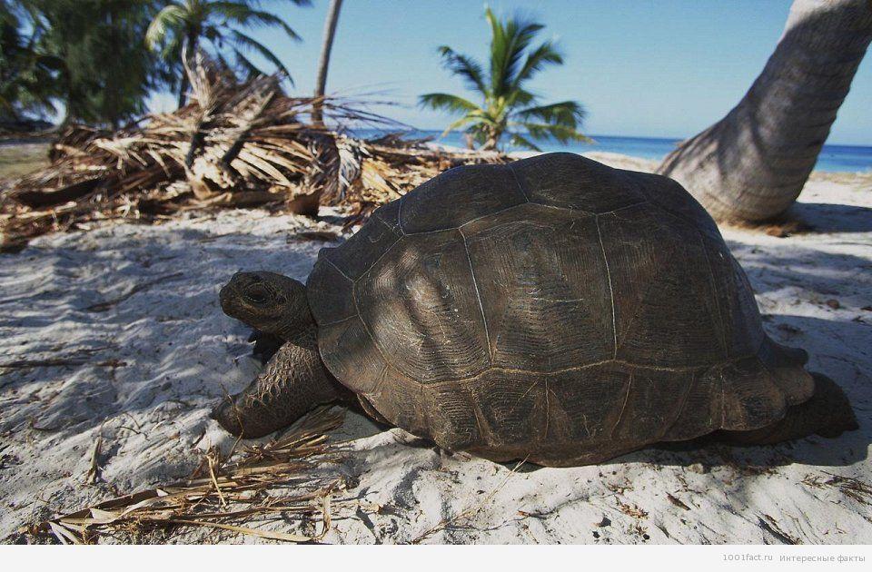 альдабрская черепаха