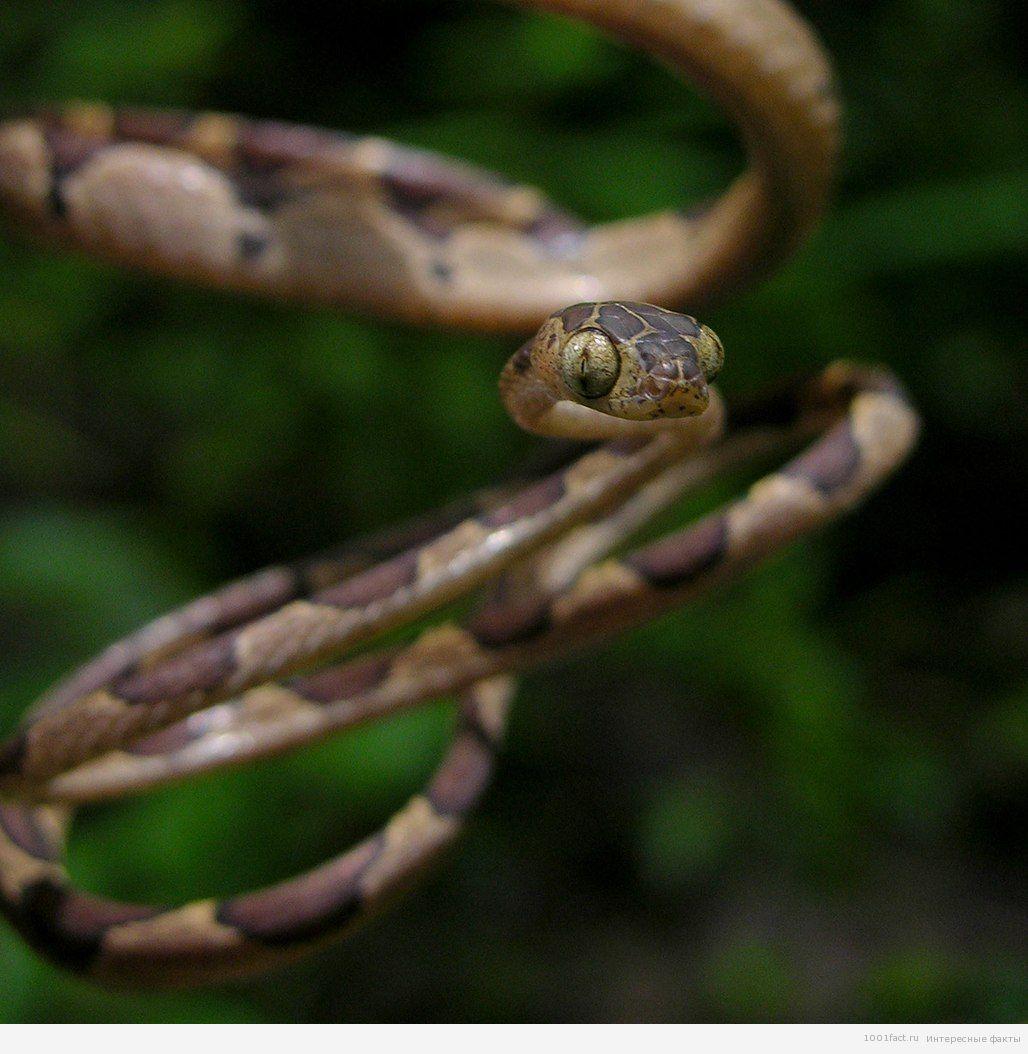 ремневидная змея
