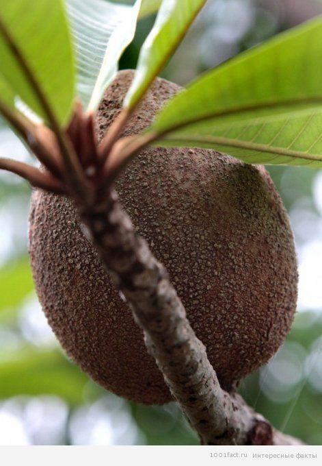 плод черной сапоты