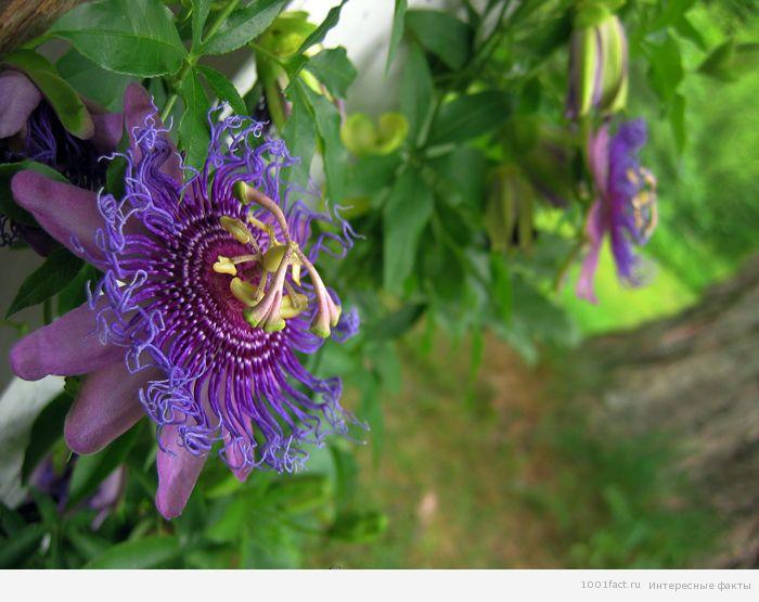 цветущее дерево_маракуйя