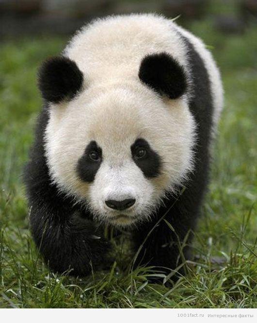 черно-белый окрас панды