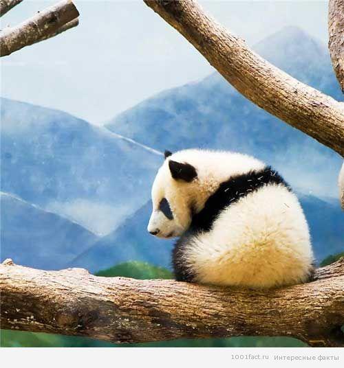 панда_животные