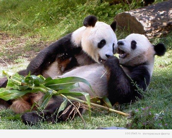 жизнь панды