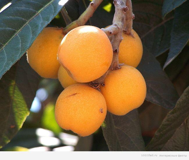 фрукты_мушмула