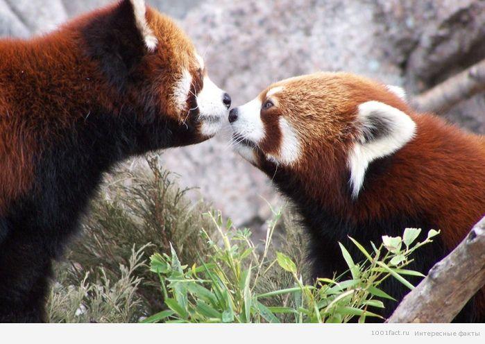разновидность панд_малая панда