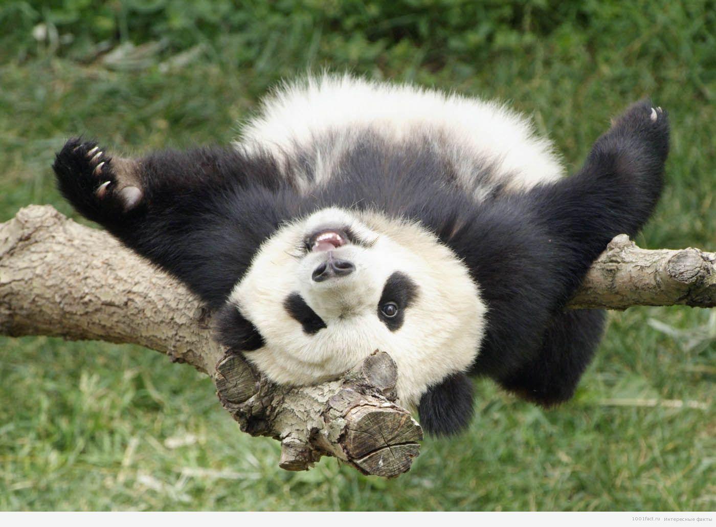 лежачая панда