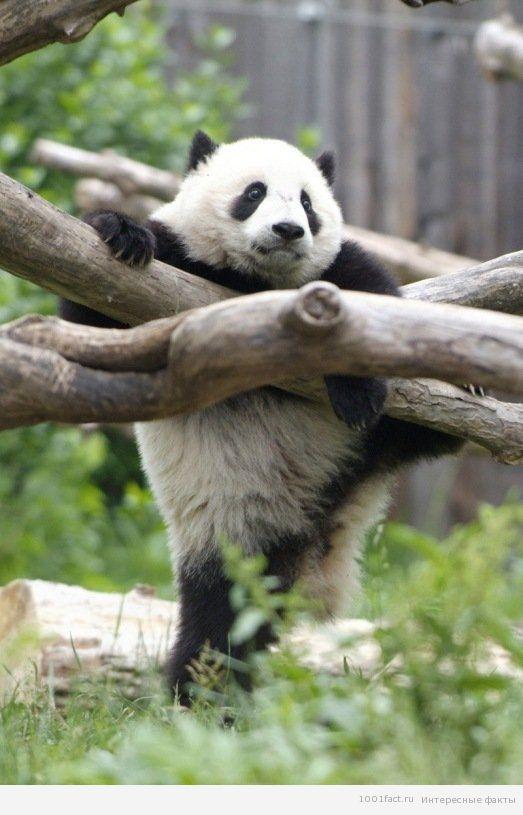 про панды