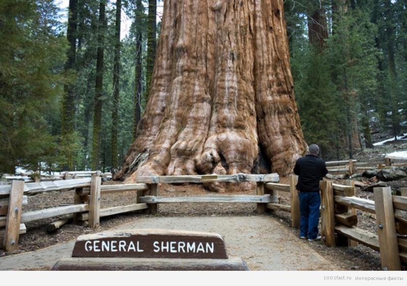 дерево генерал Шерман